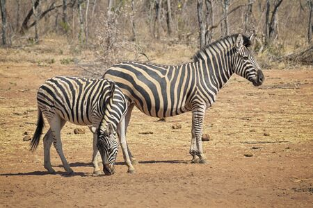 Zebras on the dry savannah looking for food in the hot sun on empty plains