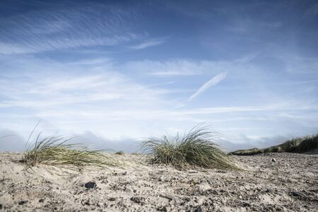 Lyme grass on a northern beach under a blue sky in the summer Banco de Imagens