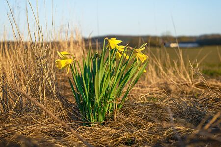 Daffodils on a dry meadow in the early spring with a farm in the background 免版税图像