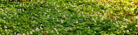 Panorama of white anemones in the forest in the spring lighted up by the sun 免版税图像