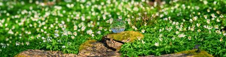 White anemone flowers around a crystal orb in a forest at springtime 免版税图像