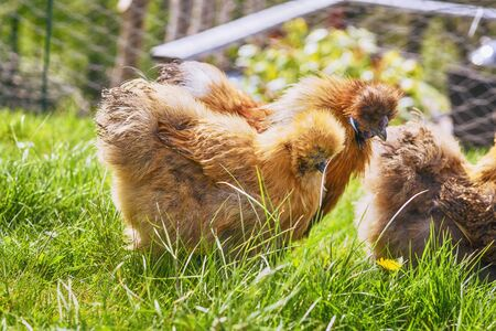 Brown Silkie chickens on a rural green lawn in the springtime in sunny weather 免版税图像 - 146668801