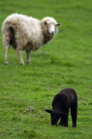 mouton noir: Un mouton noir (agneau) est regard� pr�s un mouton blanc. Banque d'images