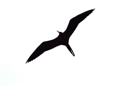 large bird: A large bird with a huge wingspan flies across the sky. (black and white) Stock Photo