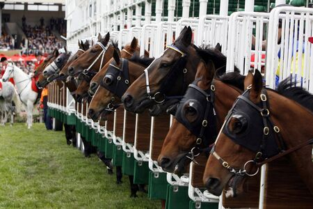 head start: A startgate full of horses about to start the race.