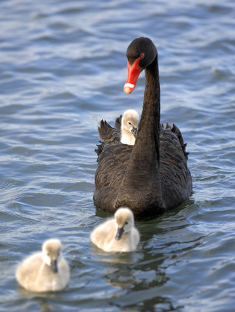 A  black swan chick hitches a ride on its mother  photo