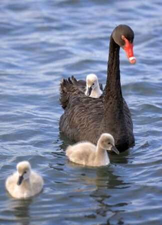 black swan: A  black swan chick hitches a ride on its mother  Stock Photo