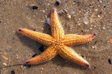fish star: Una estrella de mar o estrellas de mar se encuentra entre los dep�sitos en la playa Foto de archivo