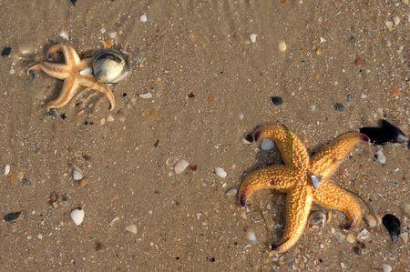 fish star: Una estrella de mar o estrellas de pescado se encuentra entre las conchas en la playa  Foto de archivo