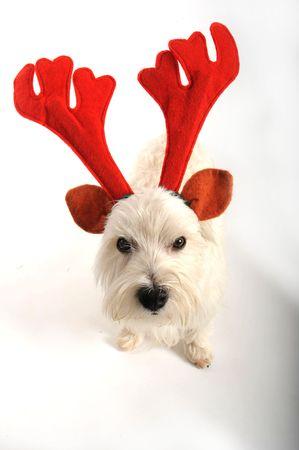 A west highland white terrior dog is unhappy about wearing reindeer antlers for christmas. photo