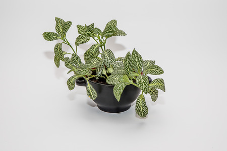 Flower with beautiful leaves in a pot on a white background. Stock Photo