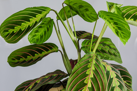 Flowering plant Maranta in a pot on a white background.