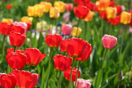 Beautiful yellow and red tulips in the rural Park. Garden flowers.Lots of green vegetation. Clear sunny day. Blurred background. Summer season. Stock Photo