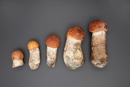 Orange cap boletus Mushrooms in a row on white background. Nature, environment and edible mushrooms concept with copy space.
