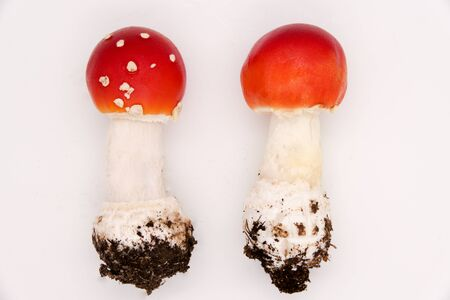 Red fly agarics poisonous mushrooms