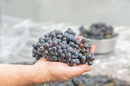 The grapes of pinonoir in the hand of the winemaker Banco de Imagens