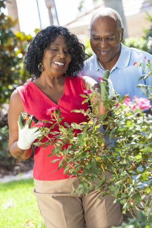 retired couple: A happy senior African American man and woman couple in their sixties outside gardening in the garden together smiling cutting roses Stock Photo