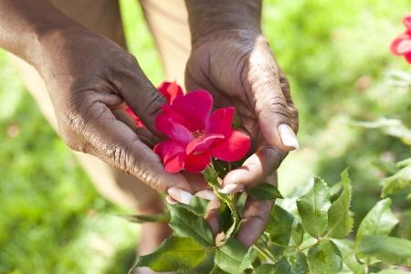 Close-up van handen die een rode senior Afro-Amerikaanse vrouw rose bloem in een zomertuin