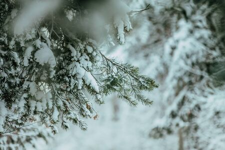 firtree: closeup of green fir-tree branches in snow Stock Photo