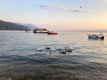 flock of swans swims on Lake Ohrid during sunset