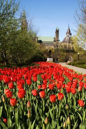 majors: Ottawa Ontario Canada. May 2011. The National Tulip Festival in Canada`s capital city. The festival began when the Dutch Royal family donated 100,000 tulip bulbs to Canada in appreciation of providing a safe house to its family during World War 2.