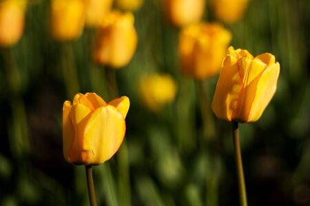 majors: Tulip Festival