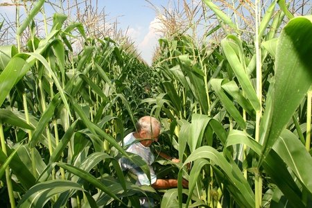 Parkhill, Canada - August 1, 2006. A Canadian farmer inspects the quality of of his corn crop on a family farm in Southwestern Ontario.  Editorial