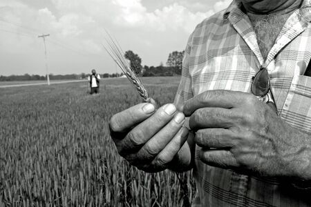prior: Parkhill, Canada - June 2, 2006: A Canadian farmer holds a head of wheat just prior to the crop being harvested.