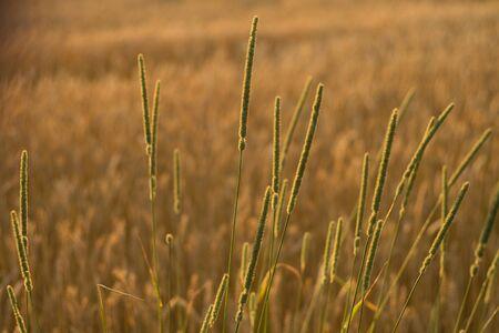 southwestern ontario: Canadian Wheat