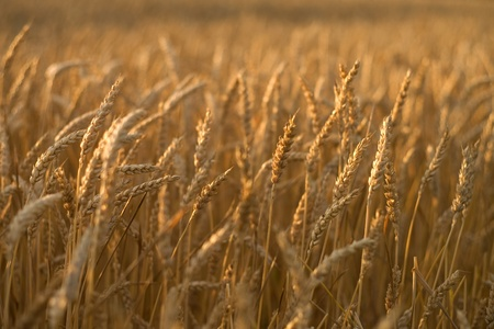 canadian cash: Canadian Wheat