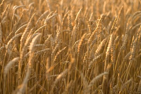 southwestern ontario: Canadian Wheat.