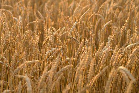 cash crop: Rural Ontario  Stock Photo