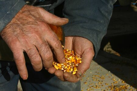 southwestern ontario: Parkhill Ontario, Canada - November 23, 2006. Simon Willemse inspects the corn as it comes in from being harvested off of the field.