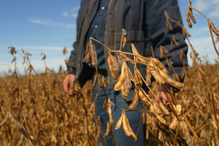 Parkhill Ontario, Canada - October 5, 2006. A farmer stands behind a stalk of soybeans just prior to harvest.