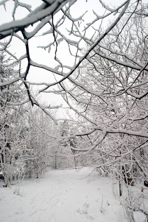 Bare tree branches covered with a fresh blanket of snow. Stock Photo - 11300407