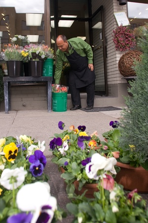 London Ontario, Canada - April 3, 2012. David Friesen, 49, owner of Bowood's located on Richmond Row places a display of Tulips in front of his store. As a florist Friesen and his staff will often spend between four to six hours a day