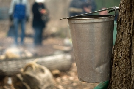 London Ontario, Canada - March 3, 2012.  With ceremonial tapping of the first tree complete, sap begins to drip from the trunk and into the collection bucket.  Stock Photo - 13073128