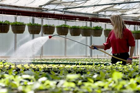 Teresa Vanderwerf, 46, of London waters rows of Marigolds that are being grown inside the city greenhouses located on Springbank Drive near Wonderland Road. During the course of the year the staff at the greenhouse will grow more than 50,000 plants that w Editorial