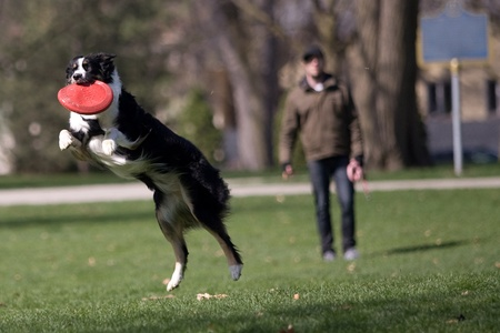 victoria park: Frankie, a two year old Austrailian Sheppard catches a frisbee thrown by her owner Aaron Cowell, 30, of London who is in the background.  The two were out enjoying the sunshine in Victoria Park on Monday afternoon. Mark Spowartfor Metro.