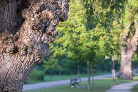 A landscape colour photograph showing a tree trunk with burls in a London Ontario, Canada park.  Stock Photo