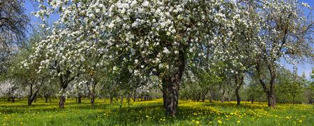 flowers horizontal: Blooming garden. Many apple trees and flowers. Horizontal panoramic photo.