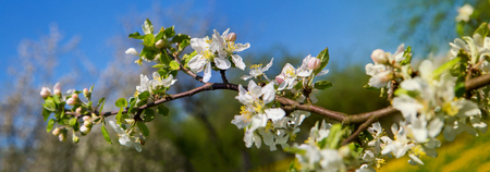 Flowering apple tree. Flowers of apple on the branch. Horizontal panoramic photo.