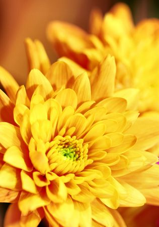 Yellow Chrysanthemum flower (shallow depth of field) photo