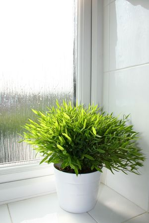 Bamboo plant in a white pot in a bathroom window sill photo