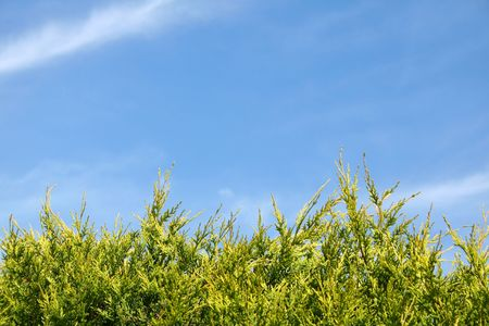 conifers: Conifers background