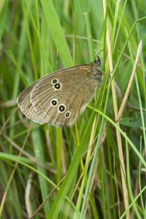 ringlet: Ringlet butterfly roosting in the grass