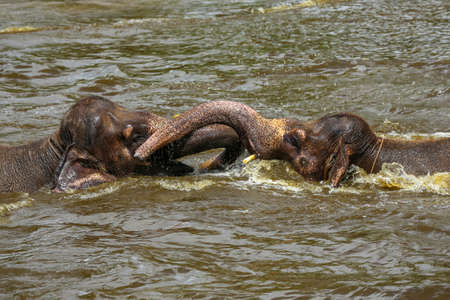 spacial: Two brown baby elephants playing with their trunks in a pool in a zoo in Bali, Indonesia