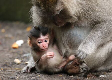grown up: two monkeys, one baby and one grown up. Mother holding baby monkey who is looking down. horizontal.