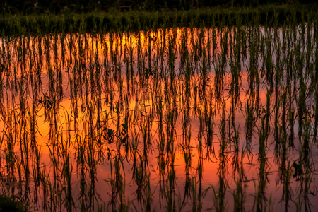 amazing stunning: Rice paddy lit from sunset showing red, orange, yellow reflection. horizontal texture and background image