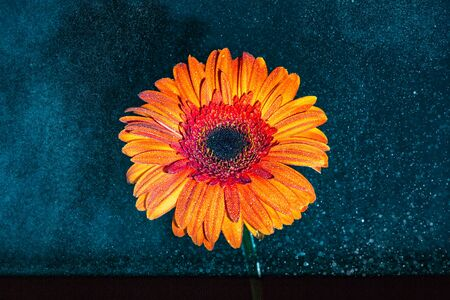 black and blue: gerbera flower in orange color against dark black, blue background with water splashed on the petals Stock Photo